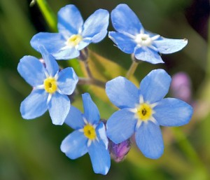 Forget-Me-Not, Beauty in Simplicity